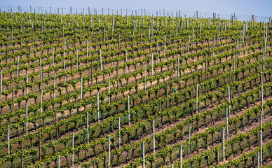Rows of Grapes in a Springtime Vineyard