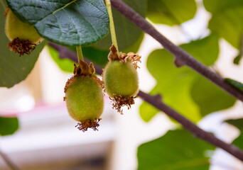 fruit kiwi fruit hanging from a tree in a natural environment