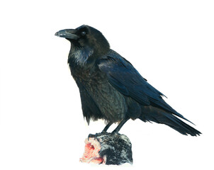 Raven (Corvus corax) isolated on white background