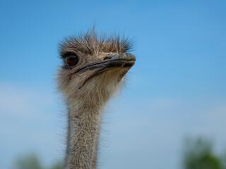 ostrich bird head close up on blue sky background