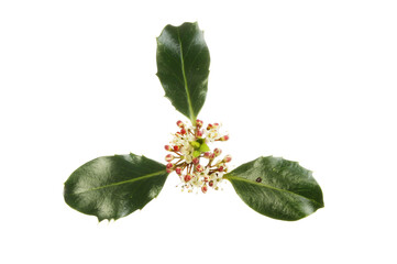 Holly flowers and foliage