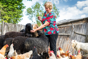pensioner woman with sheep on farm