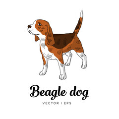 Vector editable colorful image depicting a tricolor beagle dog, standing. Isolated on white background. Hand drawn sketch.