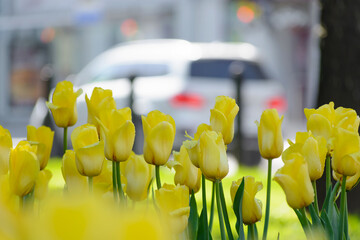 Yellow tulips after rain on a city boulevard with cars on a spring day