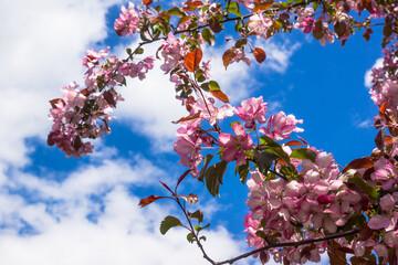 Pink flowers of apple trees spring landscape