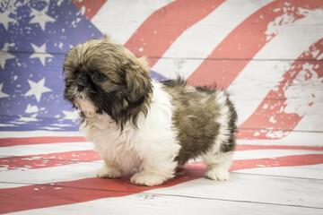 Shih Tzu on American flag background