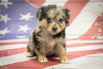 Chihuahua on American flag background