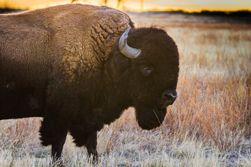 Bison profile at sunset