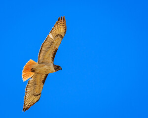 Red tailed hawk soaring against blue sky