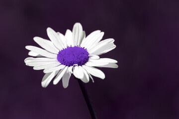 Surreal summer nature image of a purple daisy flower with copy space