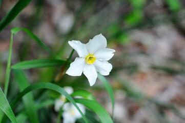 White Narcissus Daffodil