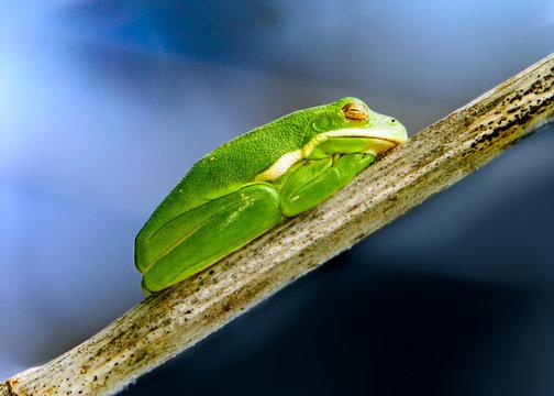 Little Green Tree frog Sleeping in the Sun