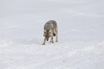 Coyote, Winter, Yellowstone NP