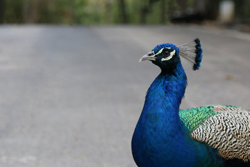 Close up of a male peacock