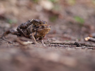 Male frog carrying a female