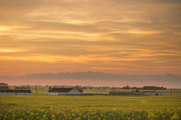 Wall Murals Honey Yellow rapeseed field at sunset in the village