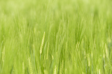 Green unripe barley. Nature background of cereal growing on field.