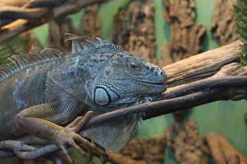 Lizard in natural habitat