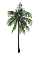 Coconut tree isolated