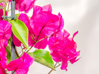 Bougainvillea pink branch flowers, paper flower with green leafs isolated on white background.