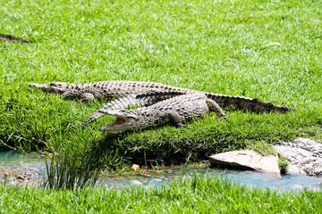 Krokodil am Flussbett