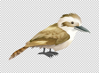 Kookaburra bird on transparent background