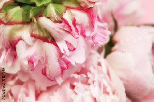 Rosa Pfingstrosen Formatfullend Auf Rosa Hintergrund Stock Photo