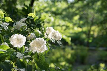Hydrangea flower garden