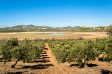 Andalusian landscape with olive trees and Laguna del Salobral in Spain on a day in spring