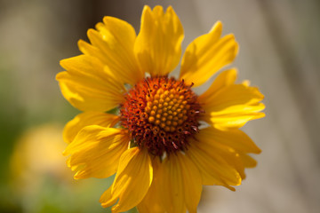 Gaillardia Amber Wheels, Yellow and Orange Flower