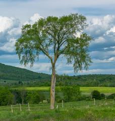 Elm Tree Alone In Vermont