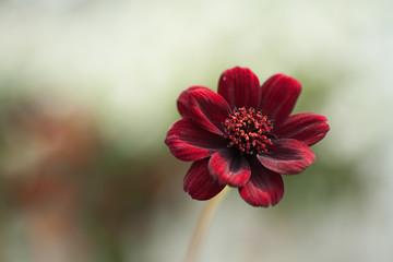 Fond de hotte en verre imprimé Univers Chocolate Cosmos Small Red, Brown Flower