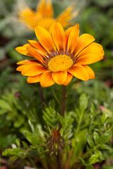 Gazania Gazoo, Yellow Daisy Flower