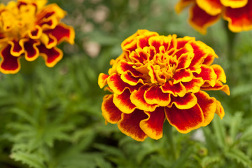 Yellow and Red Marigold Flower