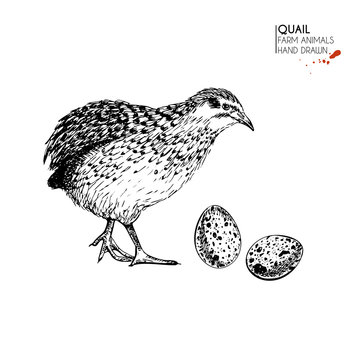 Vector hand drawn set of farm animals. Isolated quail bird and eggs. Engraved art. Organic sketched farming birds.