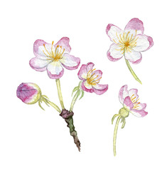 watercolor hand drawn illustration of apple blossom on branch with leaves and bud