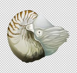 Sea nautilus on transparent background