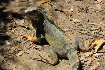 Iguana caminando