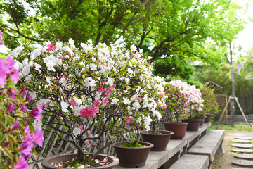 Traditional Chinese garden flowers rhododendrons.