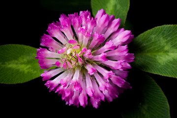 Red Clover Bloom
