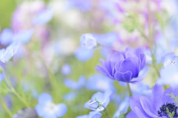 アネモネブルー、ネモフィラ、ルピナス / 春の柔らかい日差し、ハイキーイメージ