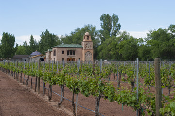 Immature Grapevines at Casa Rondena