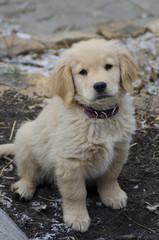 Golden Retriever Puppy in Winter Garden