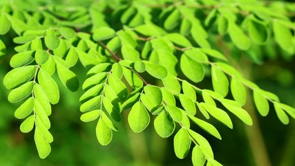 Moringa in the sun, malunggay