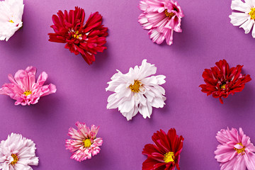 Flower pattern on a purple background. Chrysanthemums variations and repetition. Top view
