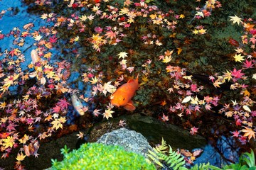 A beautiful view of Japanese Koi Carp fish & colorful maple leaves in a lovely pond in  a garden in Kyoto Japan ~ A vibrant image of Chinese Fancy Carp fish swimming merrily among fallen leaves