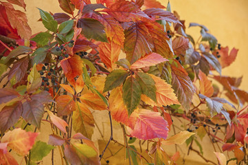 Autunm leaves in Tuscany/ Italy