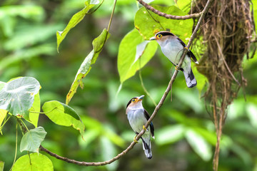 Silver-breasted Broadbill, birds standing on a branch in the nature.