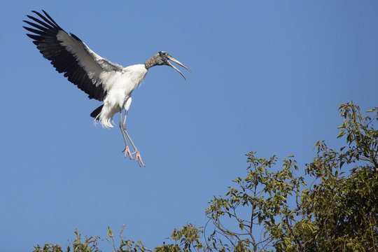 Wood stork coming in for a landing in central Florida.