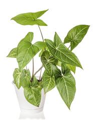 Syngonium plant growing